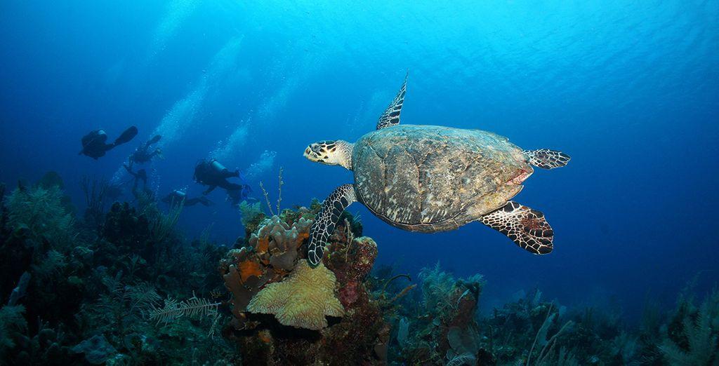Verpassen Sie nicht die atemberaubende Unterwasserwelt Akumals mit seinen berühmtem Meeresschildkröten.