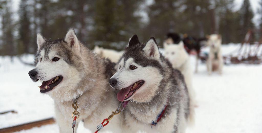 Disfrute de un paseo en trineo guiado por huskies