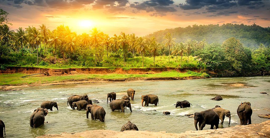 Viajes a Sri Lanka - Elefantes