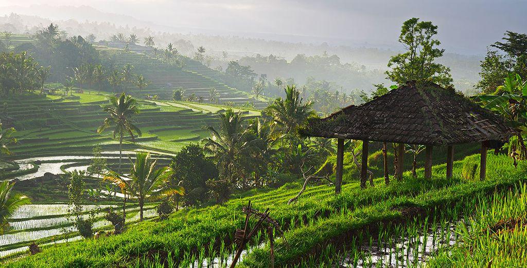 Conozca los arrozales de Ubud, forman hermosos paisajes