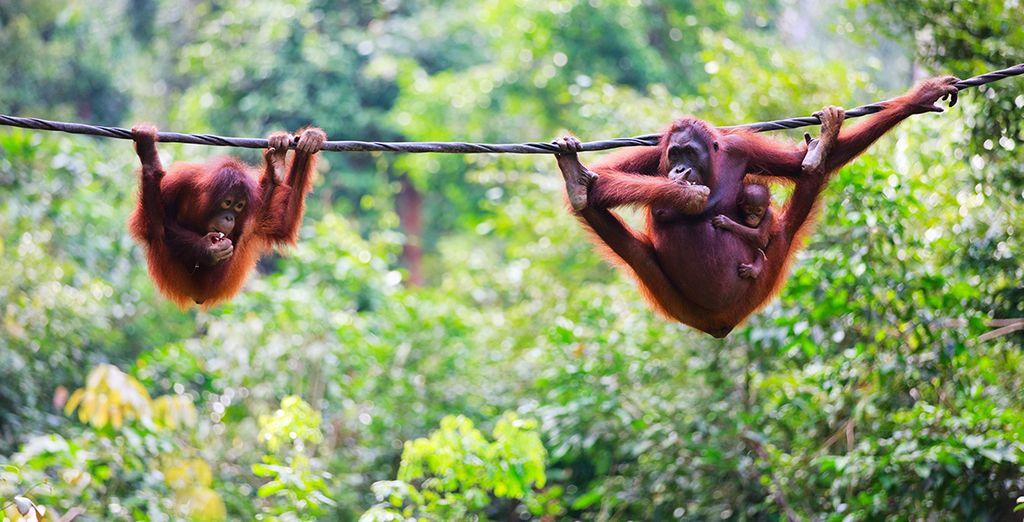 Alors suivez-nous au pays des orangs outans