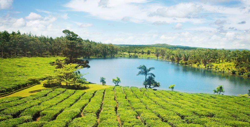 Ou les champs de thé de Bois Chéri