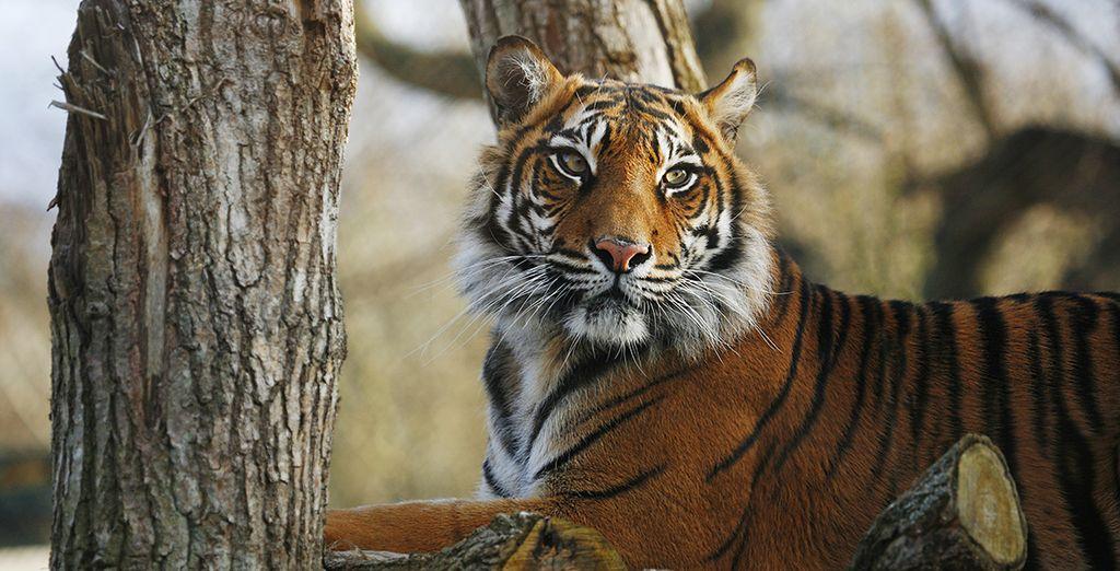 Du tigre mythique de Ranthambore...