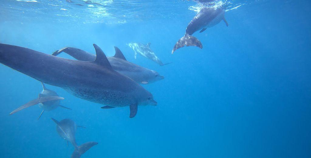 Faire de la plongée avec les dauphins dans les Îles Maurice, eaux turquoise et mammifères marins