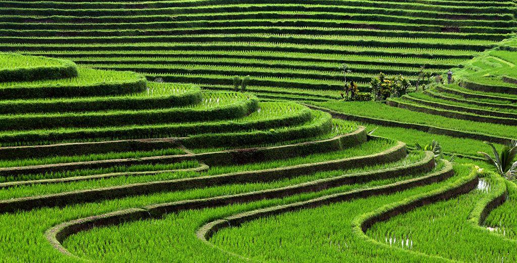 Et nature verdoyante dans les rizières