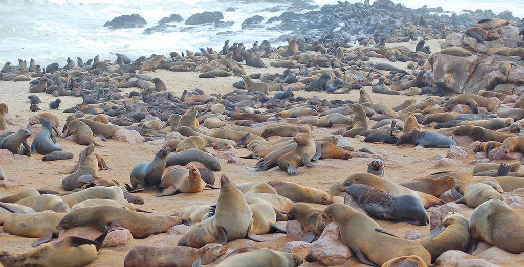 Potrete visitare una grande colonia di foche a Cape Cross