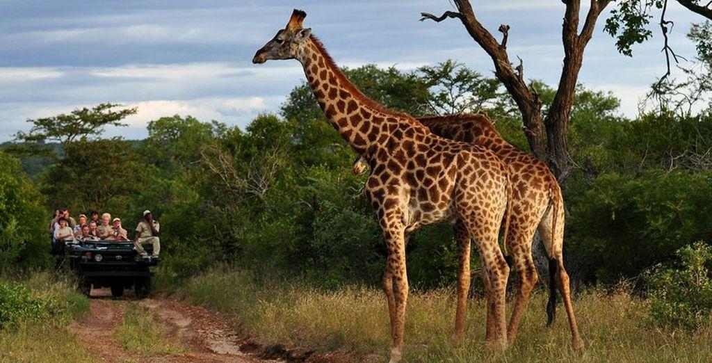 tra giraffe maestose