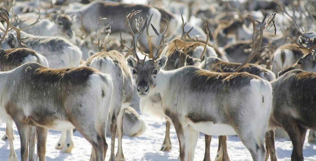 fare visita a un allevamento di renne