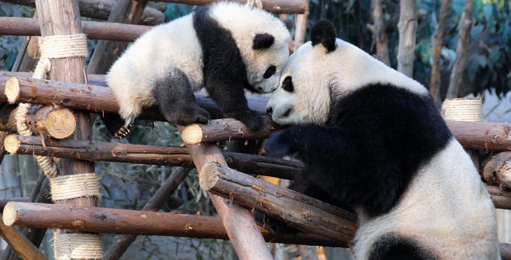 Spend New Years Eve in Chengdu with some cute pandas