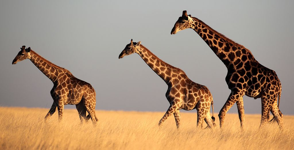 This game reserve boasts towering giraffes
