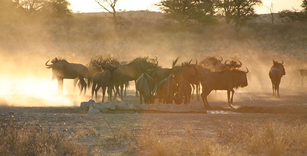 Where wildebeest roam