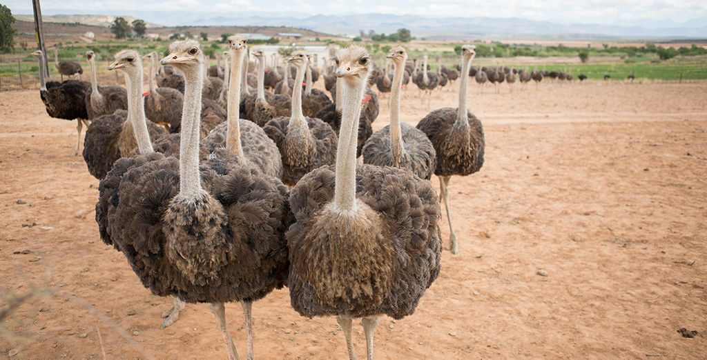 ...stop in at an ostrich farm...
